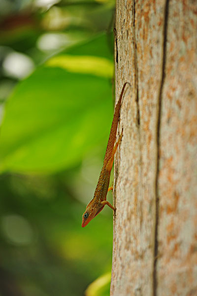 dominica, morne trois pitons, small lizard in the forest