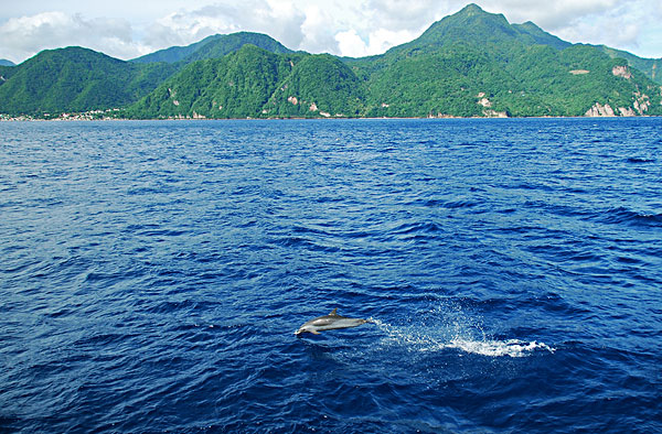 dominica, roseau, dolphins swimming in the blue sea